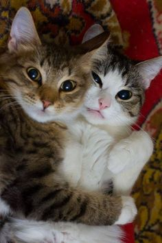 Mostlycatsmostly cat hug, kitty cats, cute cats and kittens, cuddle cat, kittens Cute Cats And Kittens, I Love Cats, Crazy Cats, Cool Cats, Kittens Cutest, Pretty Cats, Beautiful Cats, Animals Beautiful, Funny Animals
