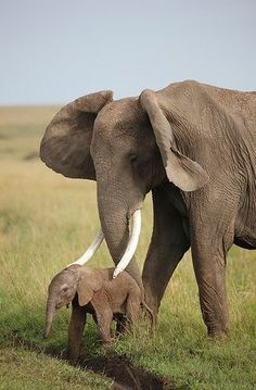 Mother African elephant guides her very young calf.