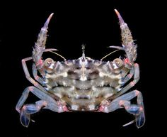 https://flic.kr/p/qaLed | Thalamita sp, a swimming crab from Fiji