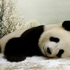 Teddy bear panda had a hard day! Panda Love, Cute Panda, Happy Panda, Cute Funny Animals, Zoo Animals, Large Animals, Spirit Animal, Belle Photo, Animals Beautiful