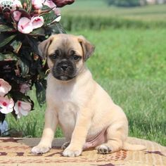 Shelby is a cute and loving Jug puppy with a happy personality. This sweet pup is vet checked, up to date on shots and wormer, plus comes with a health guarantee provided by the breeder. To find out more about Shelby, please contact Keith today!