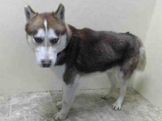 Brooklyn Center   LOBO - A0993038  MALE, BROWN / WHITE, SIBERIAN HUSKY MIX, 4 yrs OWNER SUR - ONHOLDHERE, HOLD FOR ID Reason PERS PROB  Intake condition NONE Intake Date 03/04/2014, From NY 11220, DueOut Date 03/04/2014, I came in with Group/Litter #K14-169645. https://www.facebook.com/photo.php?fbid=766956246650590&set=pb.152876678058553.-2207520000.1393988918.&type=3&src=https%3A%2F%2Fscontent-a-ord.xx.fbcdn.net%2Fhphotos-prn2%2Ft1%2F1901242_766956246650590_378497301_n.jpg&size=397%2C297