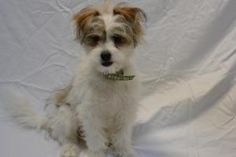 JUJUBEE  Jack Russell Terrier (Parson Russell Terrier)/Maltese Mix: An adoptable dog in San Clemente, CA