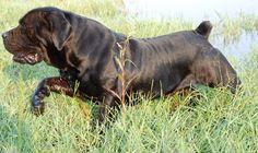 South African Boerboel Mastiff - Spitsvuur Ramkat