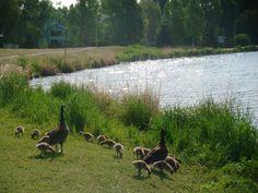 muchos patos