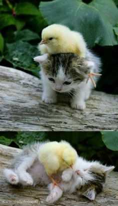 Baby Chick & Kitten playing!!