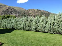 Moonglow Juniper privacy hedge - love this for along the road where we don't have a fence. Privacy Hedge, Privacy Plants, Privacy Landscaping, Backyard Privacy, Garden Landscaping, Landscaping Ideas, Juniper Shrub, Cerca Natural, Full Sun Shrubs