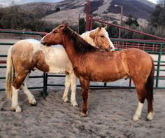 Mustangs Cal & Pauly soon after their arrival at the Cal Poly Equine Center – they were buddies from the beginning. #calpoly #mustangs