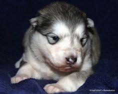 malamute puppies sydney