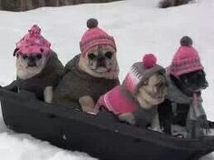 4 pugs snow sledding