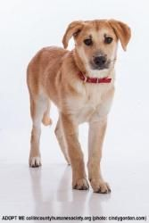 Goldie is an adoptable Labrador Retriever Dog in McKinney, TX. We do not have a facility to house the dogs in our program. They are all kept in foster homes until they are adopted. Therefore, if you a...