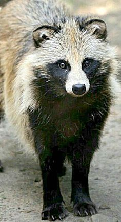 Raccoon dog - neither a raccoon or a dog but is related to wolves
