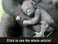 Slapende Baby Gorilla - Vrouwen.nl
