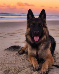 Zara's almost three what to do……. Zara's almost three 😍 what to do…. Cute Dogs And Puppies, Pet Dogs, Dog Cat, Doggies, Gsd Puppies, German Shepherd Pictures, German Shepherd Dogs, German Shepherds, Beautiful Dogs