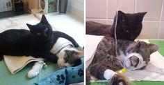 An unbelievable black cat nursing other sick animals!!! Radamenes, un petit chat noir adorable, se plie en quatre pour aider les autres animaux d'un centre vétérinaire de Bydgoszcz, en Pologne.  Après avoir été ramené in extremis à la vie par les employés du centre …