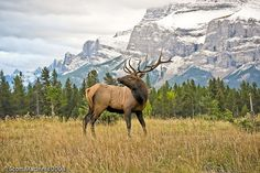 Bull Elk Poses in the Canadian Rockies by smacdaddy (Scott MacInnis), via Flickr