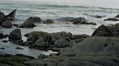 Baleia bebé morre em praia de Viana do Castelo