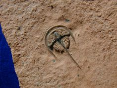 Norwoodia bellaspina  Weeks Formation, House Range, Millard County, Utah.  Weeks trilobites are known for their excellent 3D preservation and color. One of the hallmarks of the species are the two dominant spines present. One spine is an interesting extension of the glabella. The other is a long axial spine, which is longer than the length of the specimen's body.
