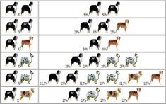 Australian Shepherd Color Genetics Charts. This is actually really Interesting!