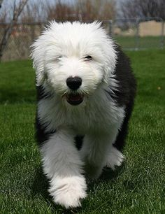 Old English Sheepdog Puppy (We had one of these when I was lil her name was Ashley)