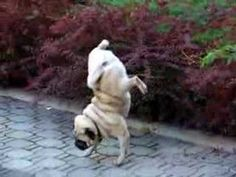 this is my funny pug - Loui :P the dog was not trained to do this, it is his natural peeing procedure ;D