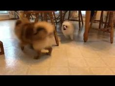 White cream Pomeranian puppy Barking video #2 Cute White cream Pomeranian puppy Barking video #2 Cute Source by nikkicaonguyen81 The post White cream Pomeranian puppy Barking video #2 Cute appeared first on Welch Puppies. Puppy Barking, Bear Face, Pomeranian Puppy, Cute Puppies, Funny Animals, Cream, Dogs, Creme Caramel, Pet Dogs