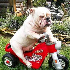 bulldogs love to ride their bike's ....
