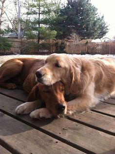 Shami Comfort Dog - w/ Martin Comfort Dogs - best friends !  (Facebook via LCC K-9 Comfort Dogs)
