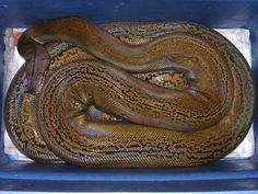 Golden Child Reticulated Python