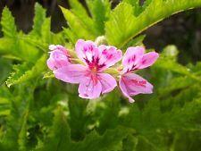 Pelargonium glutinosum 5 tuoretta siemenet