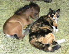 cat and miniature horse so cute