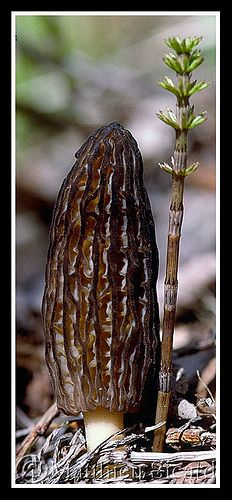 Black Morel (Morchella Elata) ~ By Matthieu Sicard