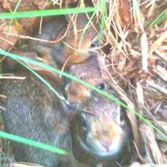 2 week old bunnies