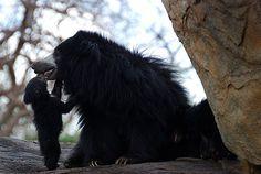 Sloth Bear Mother and Cub Animals Kissing, Baby Animals, Cute Animals, Sloth Bear, Mother And Child, Black Bear, Mans Best Friend, Baby Bears, Bond