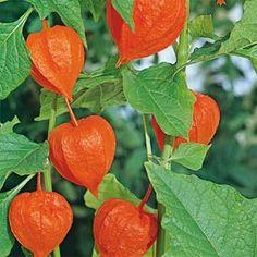 Grow your own Chinese Lantern (Physalis Alkekengi). Flower seed produces an ornamental flower....