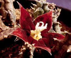 Huerniopsis atrosanguinea