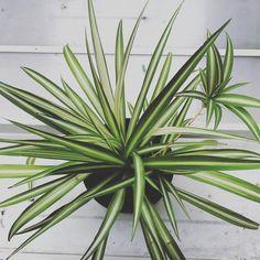 9 zimmerpflanzen welche die luft reinigen und fast unm glich sind um zu t ten die gr nlilie. Black Bedroom Furniture Sets. Home Design Ideas