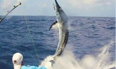 Saint Lucia Bill Fish Tournament attracts over 130 anglers to the island aboard vessels from around the world in this annual game fishing competition. Tourist Board, Saint Lucia, Grenada, Trinidad And Tobago, Countries, Caribbean, Saints, Around The Worlds, Fish
