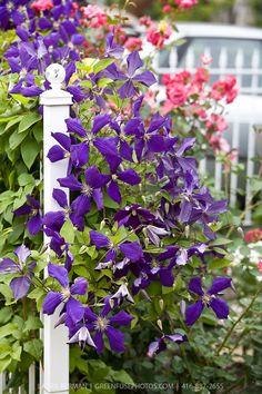 especies de Clematis Clematis, Purple Garden, Shrubs, Vines, Food Photography, Gallery, Rose, Plants, Image