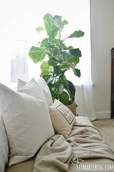 """fiddle leaf fig tree  DON""""T USE ANYMORE OF THESE PLANTS   They are so overdone.... unless you dry the leaves, paint them and attach them to a gilded branch, this trend is OVER Fiddle Leaf Fig Tree, Fiddle Fig, Room Of One's Own, Floor Plants, Inside Plants, Young House Love, Foliage Plants, Beautiful Living Rooms, White Rooms"""