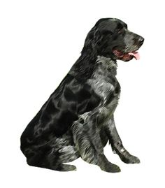 The #PicardySpaniel is a friendly, sociable and happy breed. They are very affectionate and loving and form close bonds with their human families. Picardy Spaniels need plenty of exercise and are not suited for indoor living. They are very intelligent and loyal, and therefore easy to train. They are friendly towards other dogs and strangers.