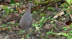 Cinereous Tinamou - Introduction | Neotropical Birds Online