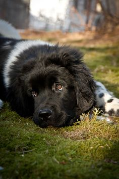 This is our new boy, Boatswain (Bo-sun). He's a 13 week old Landseer Newfoundland puppy, born at Seagirt's Newfoundlands in Twillingate NL, on Nov 10, 2011.