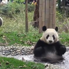 Pandas enjoying taking a bath
