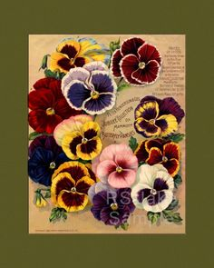 Butterfly Pansies Seed Catalog Advertisement by RSJakeGraphics #diycrafts #ecrafty #seedcatalogs