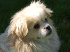 Gizmo is an adoptable Tibetan Spaniel Dog in Los Gatos, CA.  Gizmo will be attending our adoption fair at Pet Food Express in Los Gatos (15466 Los Gatos Blvd/ across from Trader Joe's) on Saturday, Ma...