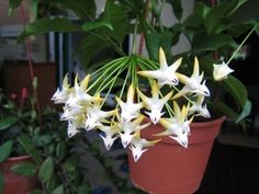Hoya Plants - Shooting Stars... very interesting