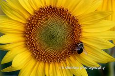sunflowers only - k dunlap photography