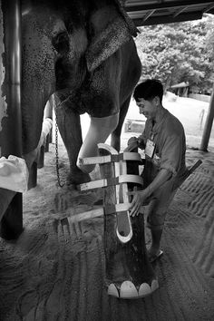 Black and White photo. Elephant with a prosthetic leg.