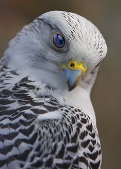 Gyrfalcon. The gyrfalcon (Falco rusticolus), also spelled gerfalcon, is the largest of the falcon species. The gyrfalcon breeds on Arctic coasts and the islands of North America, Europe, and Asia.